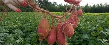 红薯吃多了会怎么样 吃红薯要注意事项