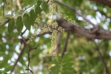 香椿花煮水喝有什么功效 香椿花的作用与功效