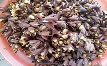 香椿子的作用与功效 香椿子的副作用和禁忌