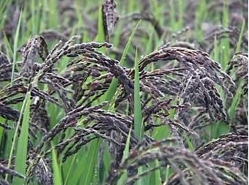 黑米的功效与作用 黑米的营养价值