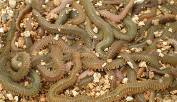 沙蚕的作用与功效 沙蚕的食用方法