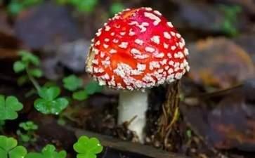 误食毒蘑菇怎么办 误食毒蘑菇的急救方法