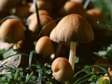 怎样分辨毒蘑菇和蘑菇 识别毒蘑菇的八种方法